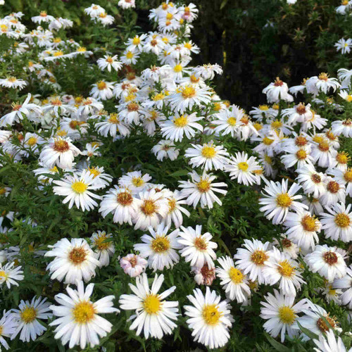 Aster x 'Mary's White' - fall flowering perennial with masses of snow white flowers