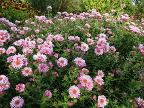 Aster novae-angliae 'Harrington Pink' - New England aster 'Harrington Pink' - tall fall aster for borders, cottage gardens and butterfly gardens