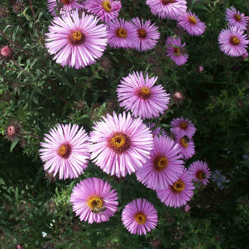 Aster novea-angliae 'Rosa Sieger' - New England aster 'Rosa Sieger' - fall perennial, cultivar of native wildflower, great for flower border
