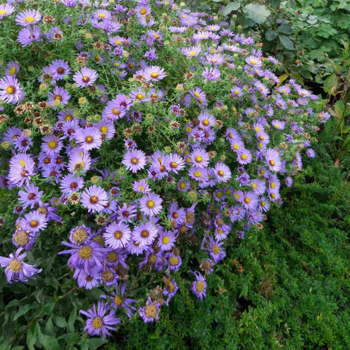Aster oblongifolius 'October Skies' - Aromatic aster 'October Skies' - superb fall perennial and nativar, dense mounds, 100% covered with flowers, tough and drought tolerant plant