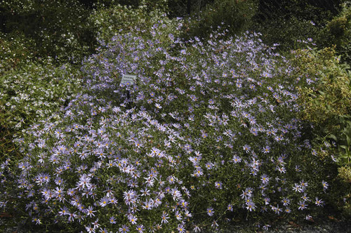Aster turbinellus - Prairie aster - adaptable native perennial, showy mounding and great for wildlife