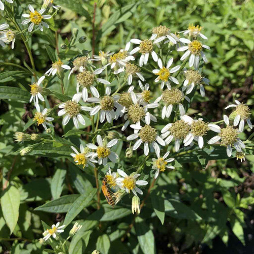 Flat top aster - Aster umbellatus (Doelingeria umbellata) - wildflower, but very good garden plant too, recommended by Mt. Cuba Research Center