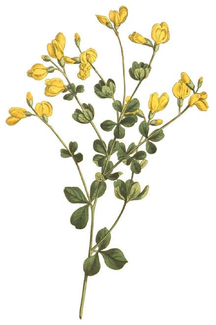 Baptisia tinctoria - Yellow wild indigo - native perennial for dry or drained soil, pollinator garden or meadows