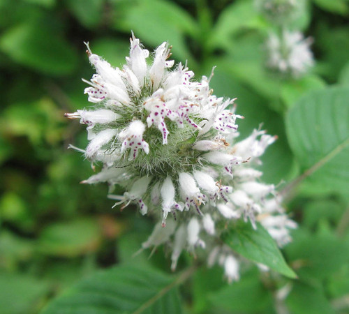 Blephilia hirsuta - Hairy wood mint - native wildflower, perennial for naturalization or pollinator garden