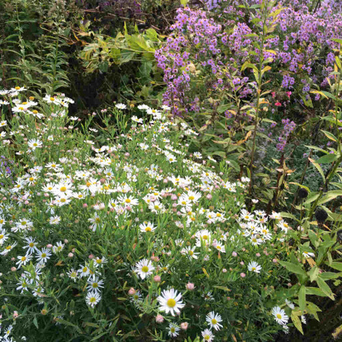 Boltonia asteroides 'Snowbank' - White doll's daisy (False aster) - upright perennial, nativar with grayish leaves and aster flower at the end of the season and no need to staking