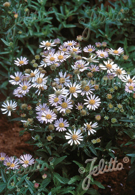 Boltonia asteroides v. latisquama 'Nana' - Dwarf False aster 'Nana' - selection of native perennial with short mounding shape, for flower beds, edges and naturalization. Attracts butterflies.
