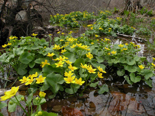 Marsh marigold - Caltha palustris - native water plant, bog perennial for rain garden or permanently moist soil