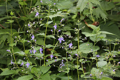 Caryopteris divaricata - Bluebeard - interesting perennial from Himalaya, adaptable and drough tolerant plant