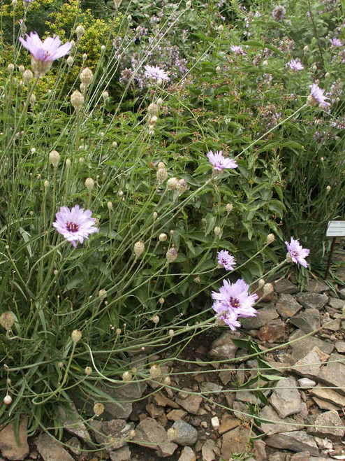 Catananche caerulea - Cupid's dart - short-lived perennial for dry soil