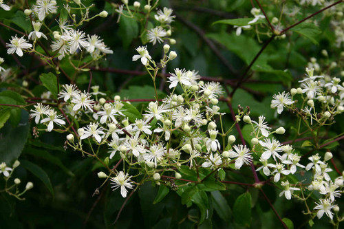 Clematis virginiana - Virgin's Bower - native climber for sun or half-shade, great substitute for invasive Autumn Sweet Clematis