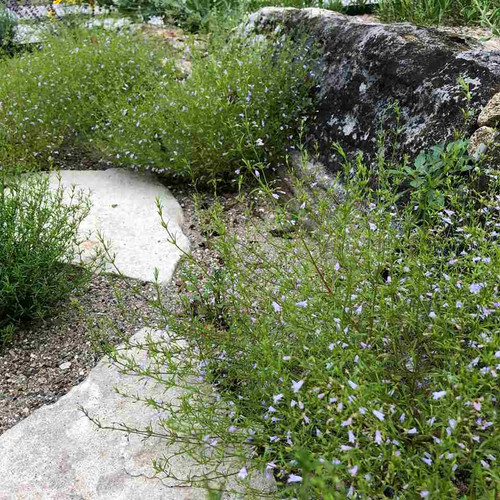 Clinopodium arkansanum - Limestone Calamint - native ground covering perennial for sunny spot with some drainage