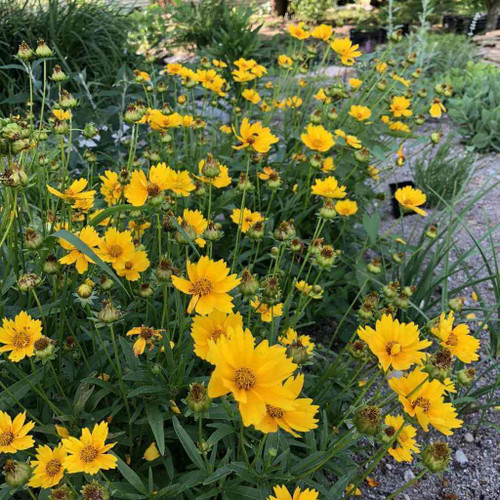 Lanceleaf Coreopsis - Coreopsis lanceolata - showy native perennials for medium to dry soil