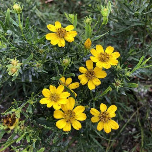Coreopsis palmata - Prairie Tickseed - drought and deer tolerant native perennial