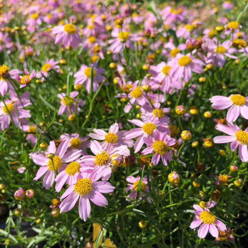 Pink Tickseed - Coreopsis rosea - spreading perennial for medium to moist soil