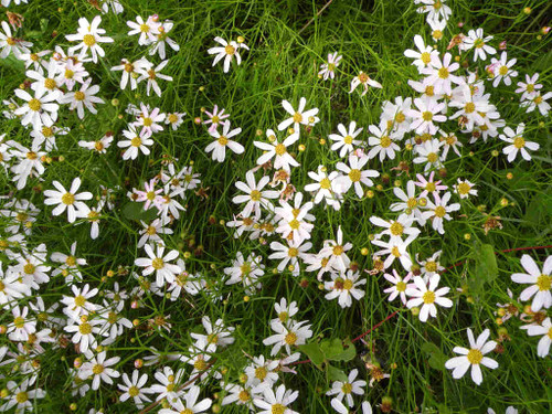 Coreopsis rosea 'Alba' - Pink Tickseed 'Alba' - nearly white selection of native perennial, border plant for sunny garden and medium to moist soil