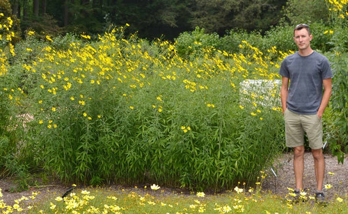 Coreopsis tripteris 'Gold Standart' - Tall Tickseed 'Gold Standart' - superb perennial that doesn't flop and is healthy