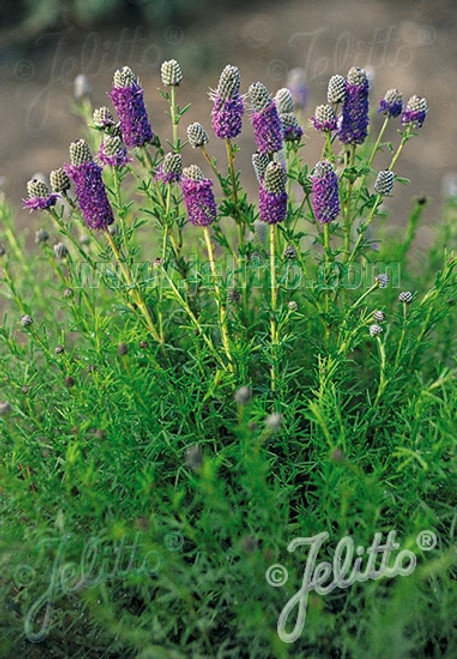 Dalea purpurea 'Stephanie' - Purple Prairie Clover 'Stephanie'  - compact selection of native perennial, plant attractive to butterflies and birds