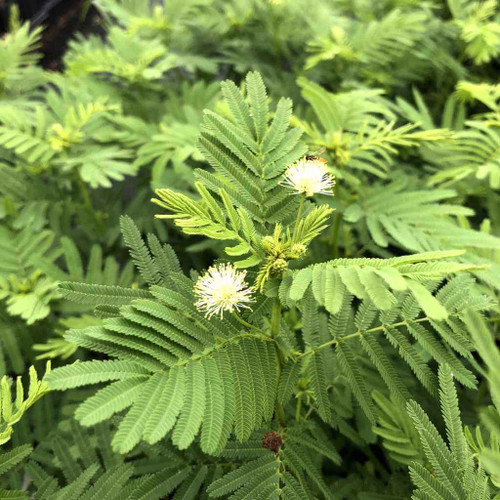 Desmanthus illinoensis - Illinois Bundle Flower - shrubby looking perennial with ornamental leaves and flowers