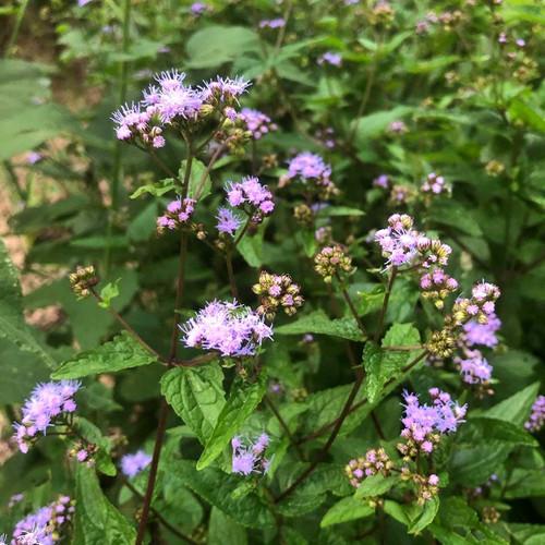 Blue Mistflower 'Cori' - Eupatorium coelestinum 'Cori' (Conoclinum coelestinum 'Cori' ) - robust and vital cultivar, adaptable perennial that can grow in full sun to full shade, moist to medium-dry soil