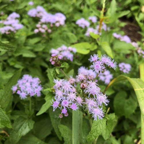 Blue Mistflower 'Wayside' - hardy ageratum - Eupatorium coelestinum 'Wayside' (Conoclinum coelestinum 'Wayside' ) - late flowering butterfly perennial that is resistant to deer
