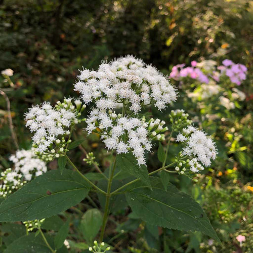 Ageratina altissima (Eupatorium rugosum) - snakeroot - deer tolerant adaptable perennial that will thrive in sun, half-shade and shade too