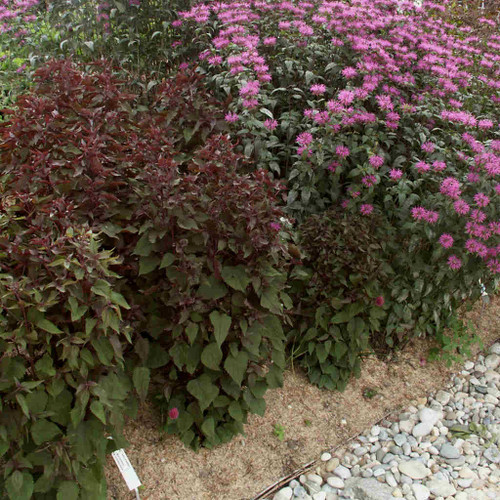 White Snakeroot 'Chocolate' - Eupatorium rugosum 'Chocolate' - cultivar of native perennial with dark brown-red leaves