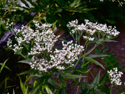 Late Boneset - Eupatorium serotinum - pollinator magnet for many native bees, smaller butterflies, wasp and other insects