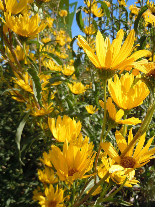 Helianthus maximillianii 'Santa Fe' -  Maximillian Sunflower - Prairie Sunflower 'Santa Fe' - deer resistant perennial with large flowers and dense growth