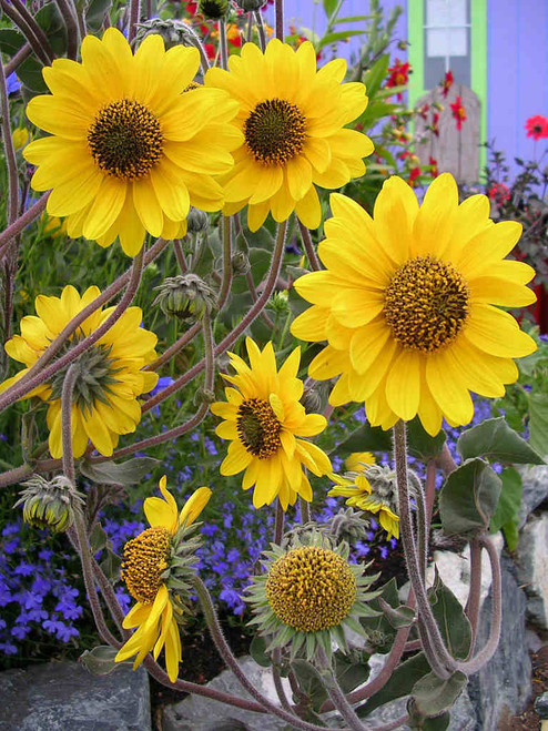 Helianthus mollis - Downy Sunflower - native perennial for drained or dry soil, good bird plant