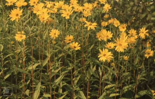 Helianthus pauciflorus - Helianthus rigidus - Stiff Sunflower - beneficial pollinator and butterfly plant, seeds feed native birds