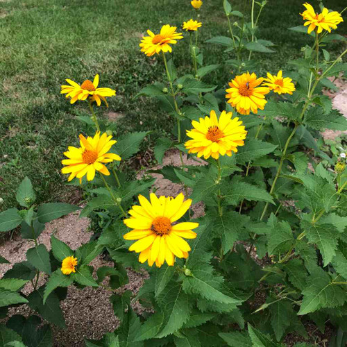 False Sunflower 'Summer Sun'  - Heliopsis helianthoides 'Summer Sun' - heat tolerant nativar and good garden perennial