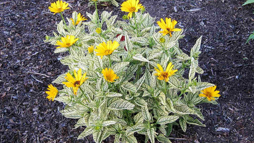 Heliopsis helianthoides 'Sunburst' - False Sunflower 'Sunburst' - perennial with variegated leaves and big flowers