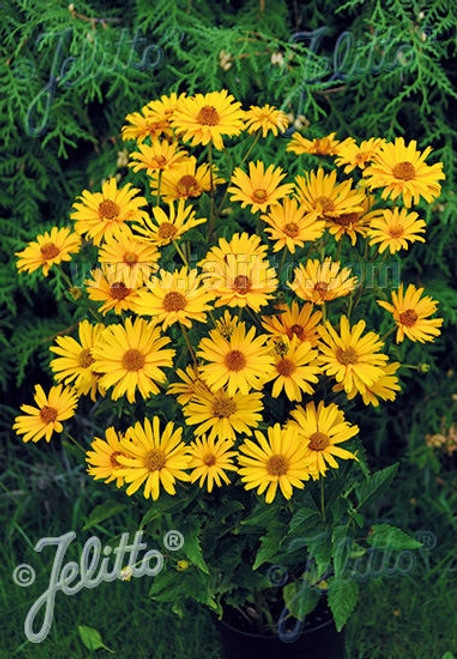 Heliopsis helianthoides 'Prima Ballerina' - False Sunflower - compact summer perennial, good cut flower and deer resistant plant