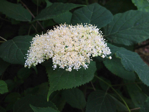 Hydrangea arborescens - Smooth Hydrangea - native shrub for pollinators, adaptable, but best planted in half-shade with medium moisture