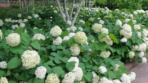 Hydrangea arborescens 'Annabelle' - Smooth Hydrangea 'Anabelle' - native shrub for sunny, half-shade or light shade garden