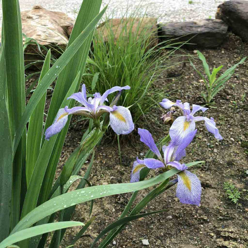 Southern Blue Flag Iris - Iris virginica var. shrevei - lovely native perennial for flower bed with medium moist soil up to shallow water