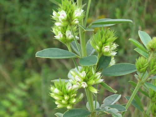Round-head Bush Clover - Lespedeza capitata - drought tolerant native wildflower, best for natural areas, prairie gardens or prairies