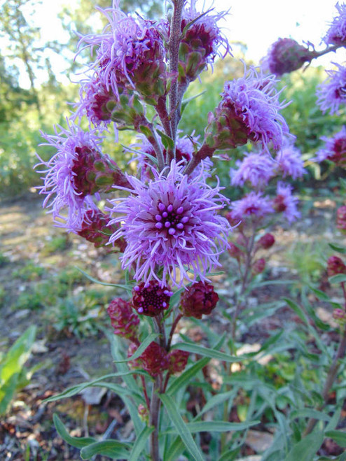 Meadow Blazing Star - Liatris ligulistylis - true butterfly magnet, great monarch and bird plant
