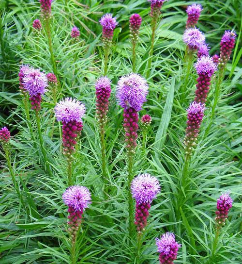 Liatris spicata -  Dense Blazingstar - drought and clay soil tolerant perennial