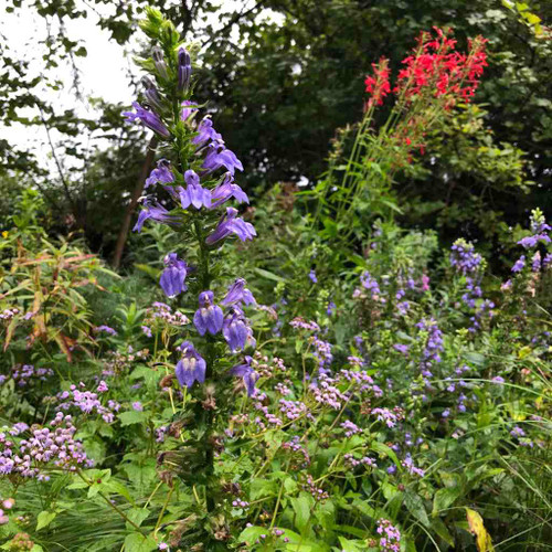 Lobelia siphilitica - Great Blue Lobelia - drought and black walnut tolerant native perennial