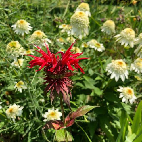 Monarda 'Feuerschopf' - Bee Balm 'Feuerschopf' - deer resistant perennial and good cut flower