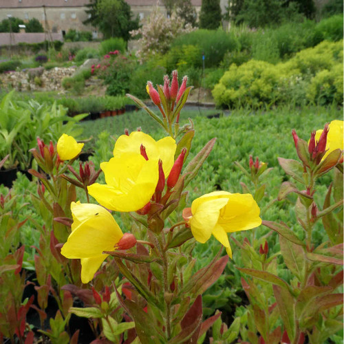 Oenothera pilosella 'Yella Fella' - Evening Primrose (Prairie Sundrops) 'Yella Fella - easy to grow perennial with large flowers, red buds and red fall foliage