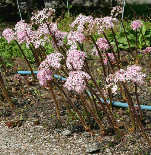 Umbrella plant - Darmera peltata - hardy perennial for moist garden, native Northwest of USA