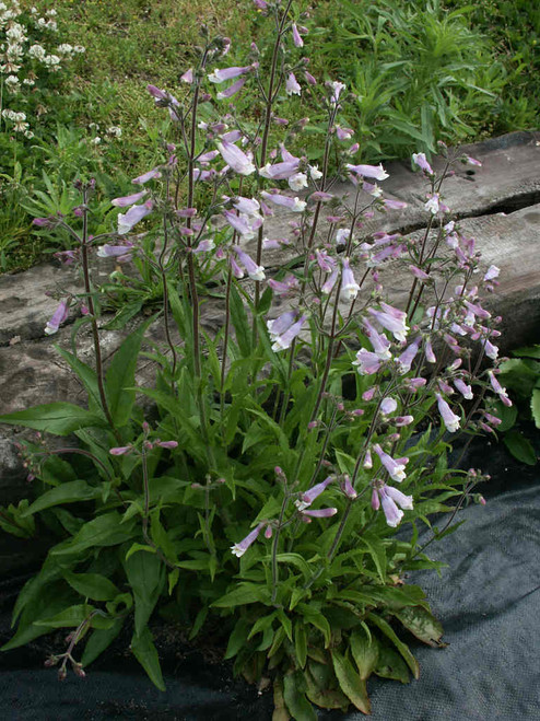 Penstemon hirsutus - Hairy Beardtongue - native perennial to Midwest and North East of USA