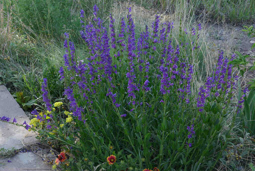 Penstemon strictus - Rocky Mountains Beardtongue - easy to grow perennial that requires only well drained soil and full sun