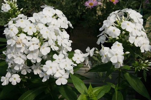 Phlox paniculata 'David' - Tall Phlox 'David' - healthy mildew resistant perennial, good fragrant cut flower for any sunny garden