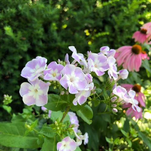 Tall Phlox 'Katherine' -  Phlox paniculata 'Katherine' - nativar of tall phlox with large fragrant flowers