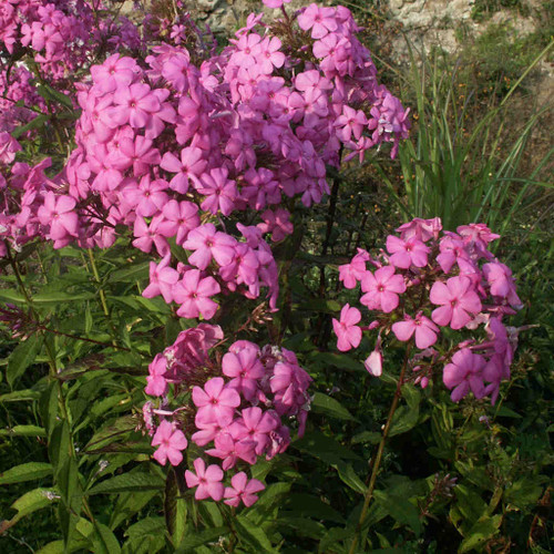 Phlox paniculata 'Little Sweet Giant' - Tall Phlox 'Little Sweet Giant' - robust cultivar for sunny or half shade flower bed