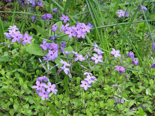 Phlox stolonifera 'Blue Ridge' - Tufted Creeping Phlox - woodland ground covering perennial, offers early nectar for butterflies, sphinx moths and hummingbirds