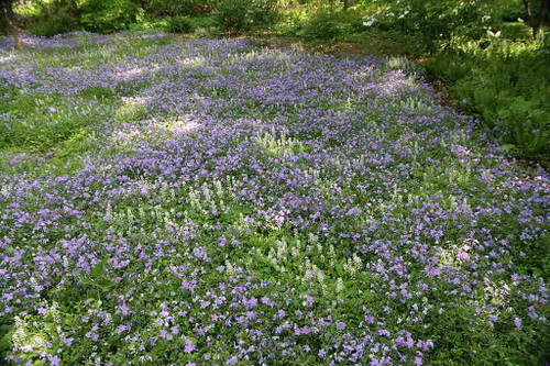 Phlox stolonifera 'Sherwood Purple' - Creeping Phlox 'Sherwood Purple' - ground covering perennial, offers early season nectar for butterflies, moths and hummingbirds